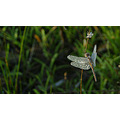 dew drops dragonfly bullsbrook perth wa littleollie