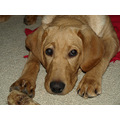 dog oscar cute puppy