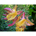 honeysuckle flower home garden spain
