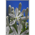 white agapanthus flower