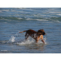 animal dog beach surf stick dunedin new zealand littleollie