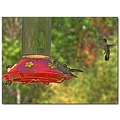 hummingbirds rubythroated feeder