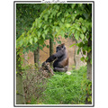 gorilla ape animal zoo nature CH1988