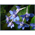 mooresdelphinium wildflower nature blue