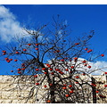 autumn persimmon fruit blue sky