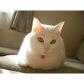 kuppy cat whitecat Japan Niigata kitty