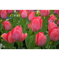 scenery nature flowers tulips