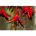 fuscia flowers hoverfly insect