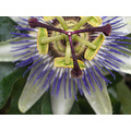 passion flower flowers floral autumn petals leaves fall colour alien unusual