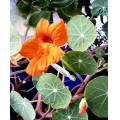 Tropaeolum ( I don't know the English name)