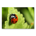 Macro ladybird insects fauna