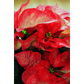 Poinsetta flowers plants Chrsitmas