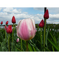 tulips HudsonRiver clouds sky flowers
