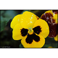 stlouis missouri us usa landscape plants flower impatient yellow macro bh 2008