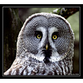 Animal Bird Lappish Owl Strix nebulosa Automn 2006 Scarlett