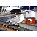 seagull animal bird nikon d90