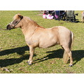 miniature pony horse equine animal showhorse