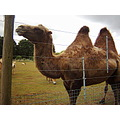 zoo animals camel bactrian