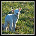animal sheep lamb sweet innocent somerset somersetdreams