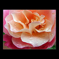 rose flower rain drop water