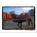 Camel Circus Manor Tralee Kerry Ireland