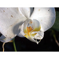 Flower alex philippines flower white orchid palenopsis