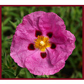 nature flowers rockrose cistus