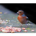 a chaffinch taken today, cheers martyn