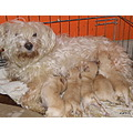 dog fourleggedmember puppies