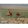 Animals Dogs HuntingDogs Vizsla ontherun