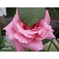 rain drops pink rose leave