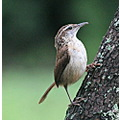 Carolina Wren wren bird Tampa Florida