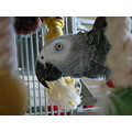 parrot african grey close up