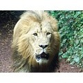 asiatic lion mane male adult hunt hunting animal king big cat paignton