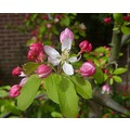 crabapple blossoms trees