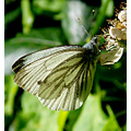 butterfly green veined white flower