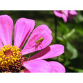 Flower Zinnia and spider