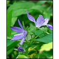 flower flowers macro campanula nature blue purple mmmstreaker