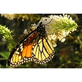 my son knows me well...he just called me outside to see about ten monarchs on my exploding white ...