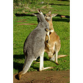 animal mammal nature kangaroo marsupial australia wildlife