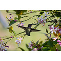 Spring hummingbird blossom wildlife favorite wildspirit pankey