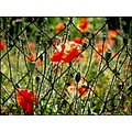 field poppy wild flowers nature closeup fence wire mesh abstract