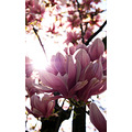 nature flower magnolia pink white sun sunlight rays