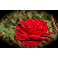 red rose flower caltech mjghajar