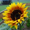 This sunflower self seeded in my garden from some I grew last year.  This one is better than any ...