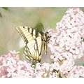 swallowtail coloredpencil lilac butterfly skoenlaper