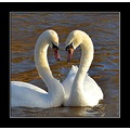 muteswan swans nature birds love somerset england uk carl bovis