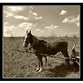 nature animal horse landscape field tree bush sky clouds sepia