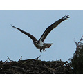 ShutterlySpectacularPhotography Osprey