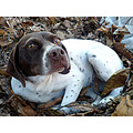 dog perla hojas otoo nido Pearl autumn leaves nest cnthparada